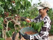 """Tận dụng lợi thế FTA: Cà phê Việt phải thay đổi """"lối mòn"""""""