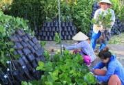 Bến Tre: Sau hạn mặn, cây giống tăng giá gấp 2-3 lần