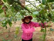 Đắk Nông: Nông sản đồng loạt rớt giá, nông dân bỏ mặc không thu hoạch
