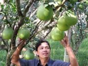 Giá cao, nông dân ĐBSCL trồng bưởi phấn khởi
