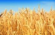 6 tháng đầu năm: Nhập khẩu ngũ cốc của An-giê-ri giảm gần 18%