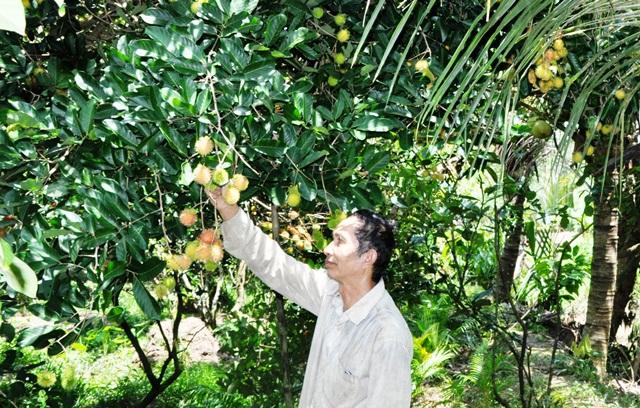 Nhà vườn Nguyễn Hoàng Viễn đang buồn rầu vì chôm chôm rớt giá mạnh