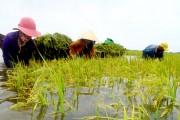 An Giang: Giá lúa tăng do bị lũ nhấn chìm gần 70 ha