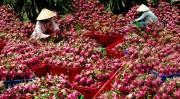 Việt Nam là nước duy nhất được cấp phép xuất khẩu thanh long vào Australia