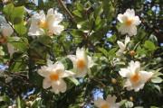 Khi mùa hoa Sở đơm bông...