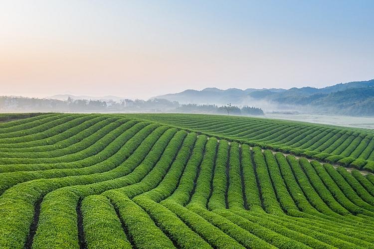 """Theo đại diện TH, khi tuyển chọn nguyên liệu, yêu cầu """"tự nhiên"""" là quan trọng nhất để tạo nên những chai """"trà thật"""" mang thương hiệu TH true TEA."""