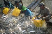 Doanh nghiệp XK cá tra, da trơn cần nâng cao chất lượng sản phẩm