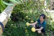 Người trồng bưởi Phúc Trạch tại Hà Tĩnh thiệt hại hàng tỷ đồng sau bão