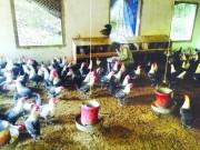 Làm giàu từ nuôi gà Ai Cập đẻ trứng