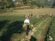 Lào Cai: Đột phá trong sản xuất nông nghiệp