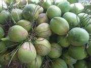 Dừa Xiêm mất giá mạnh