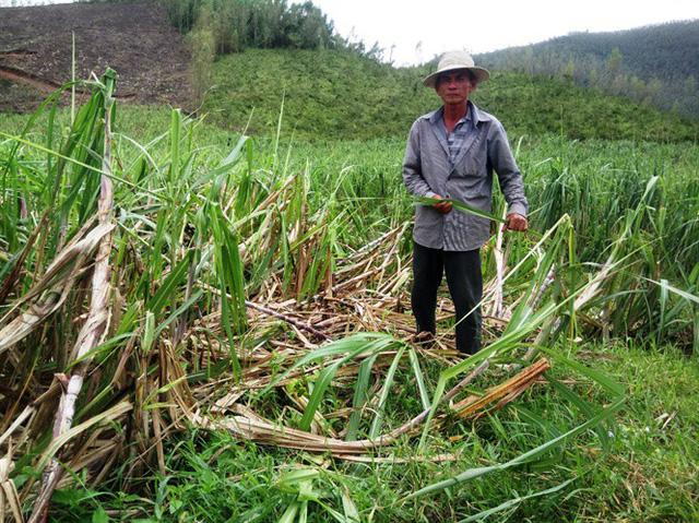 Sau bão, diện tích trồng mía trên địa bàn TX Ninh Hòa (Khánh Hòa) chịu thiệt hại nặng nề