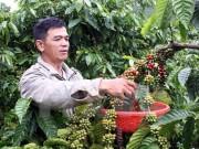 Giá cà phê tại Bình Phước giảm từng ngày