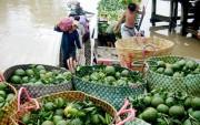 Giá cam sành giảm mạnh, nông dân ĐBSCL thất thu lớn