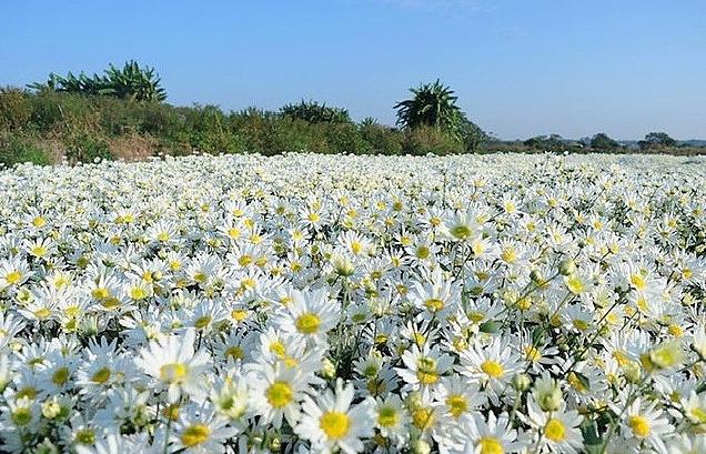 cuc hoa mi hut khach nguoi trong hoa kiem bon tien
