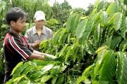 Lãi suất cho vay tái canh cà phê năm 2016 là 6,5%/năm