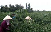 Sụt giảm nguồn cung, ớt xuất khẩu giá tăng gấp đôi