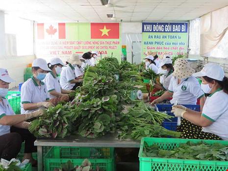 Sơ chế đóng gói rau tại HTX Phước An. Ảnh: QH
