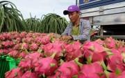 Giá thanh long chong đèn giảm sâu khiến nông dân lỗ nặng