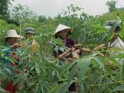 Sắn nguyên liệu tăng giá đột biến, nông dân vui 'hết cỡ'