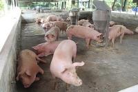 Giá lợn hơi hôm nay 1/4: Đi ngang tại khu vực miền Trung và Tây Nguyên