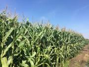 Diện tích cây trồng biến đổi gen tăng trưởng trên toàn cầu