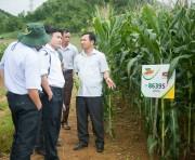 Phát triển ngô bền vững: Hạ giá thành, cạnh tranh với sản phẩm nhập khẩu