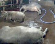 Kinh hãi trâu bò bị bơm nước trước khi giết mổ