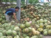 Vốn tín dụng cho ngành dừa còn hạn chế