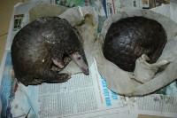 Đột kích 'lò mổ' động vật hoang dã ở Hà Nội