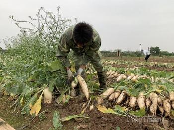 Hà Nội: Người dân đổ bỏ nông sản vì khó bán