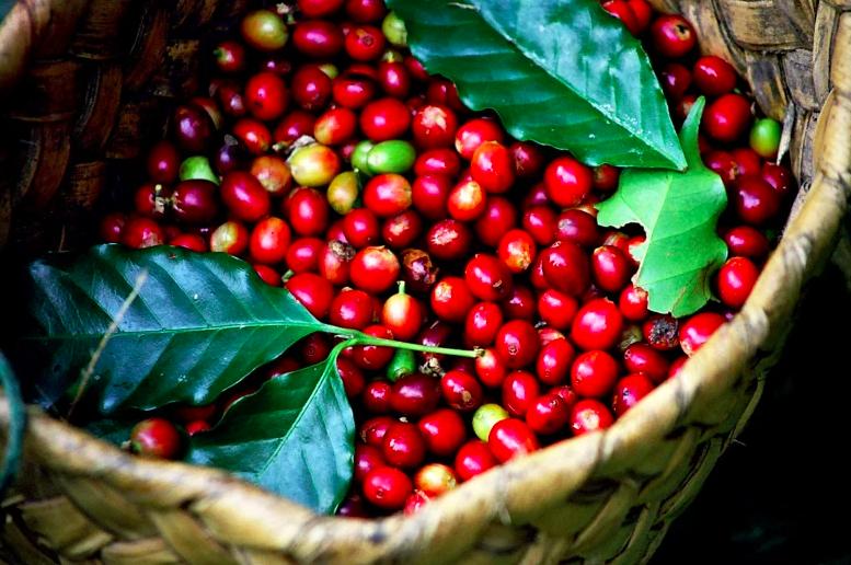 Giá cà phê hôm nay 18/2: Tiếp tục tăng 100 - 200 đồng/kg, Robusta vượt mốc 1.370 USD/tấn