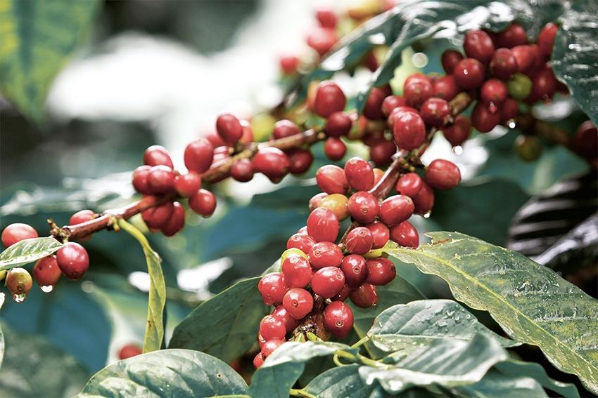 Giá cà phê hôm nay 1/4: Biến động nhẹ, sức tiêu thụ cà phê tiếp tục suy giảm