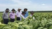 Tiếp tục chú trọng đầu tư, nâng cao chất lượng cây nguyên liệu