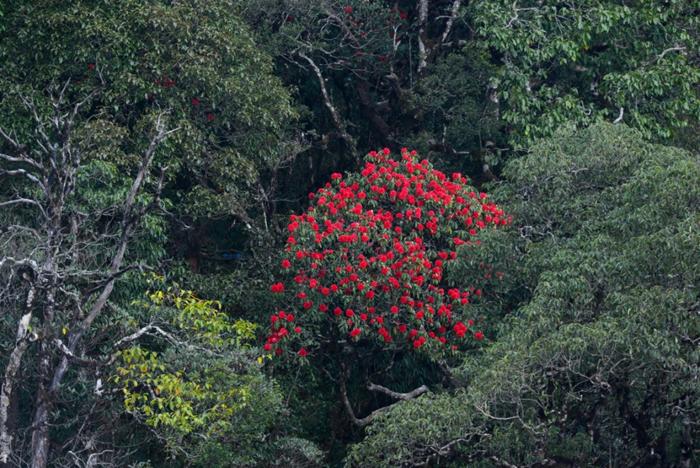 Ngàn hoa tụ hội tại Lễ hội hoa đỗ quyên Fansipan Legend