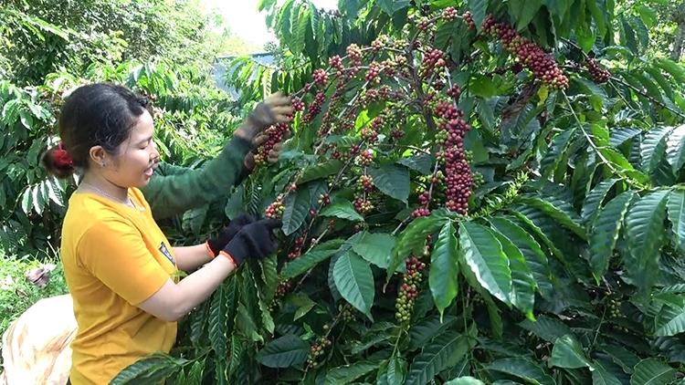 Vươn xa hạt cà phê Việt