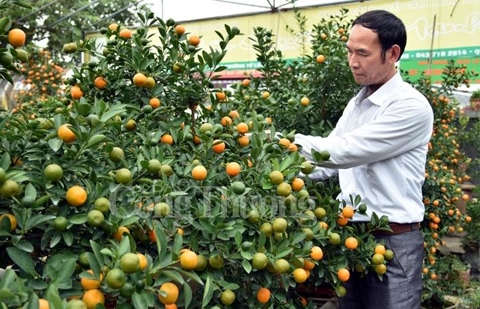 Quất bonsai Tứ Liên vào vụ đón Tết