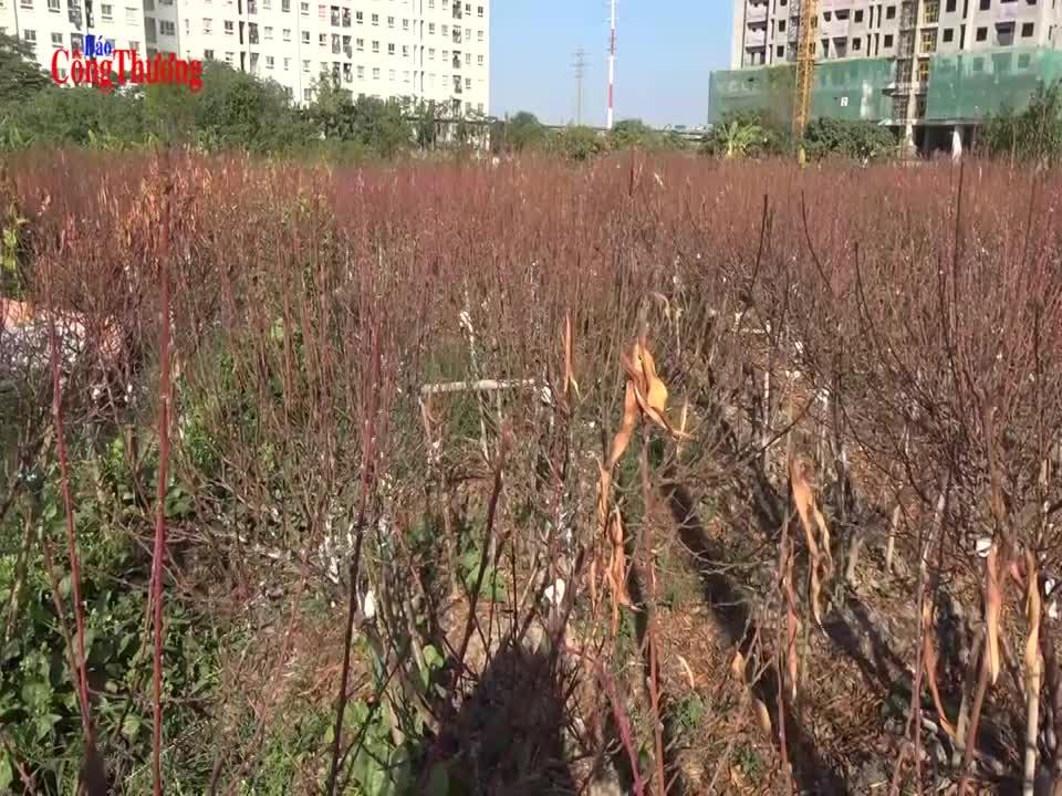 """Nhiều người trồng đào đứng trước nguy cơ """"mất Tết"""""""