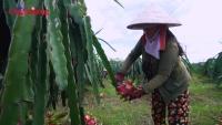 Liên kết sản xuất theo tiêu chuẩn an toàn để xuất khẩu trái cây đi Mỹ