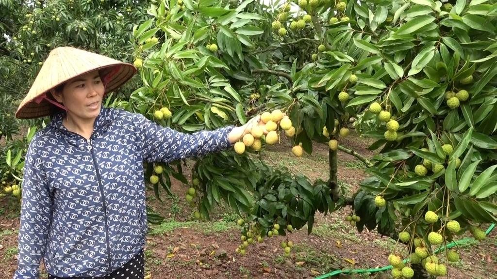 Tem truy xuất nguồn gốc không làm khó bà con vùng trồng vải Lục Ngạn