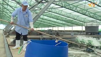 Ứng dụng đồng bộ nhiều giải pháp để nâng cao năng suất, chất lượng tôm nuôi